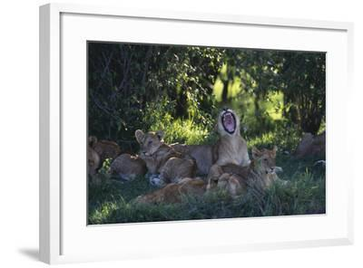 Lion Cubs Dozing under Trees-DLILLC-Framed Photographic Print