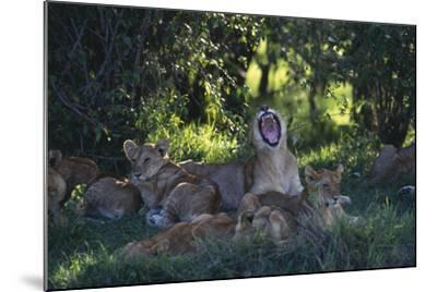 Lion Cubs Dozing under Trees-DLILLC-Mounted Photographic Print