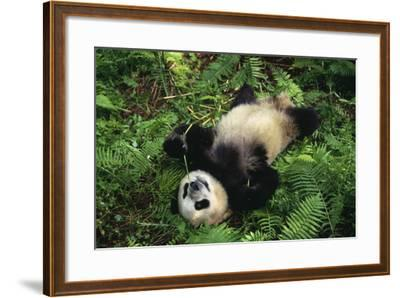 Giant Panda Cub Rolling on Forest Floor-DLILLC-Framed Photographic Print