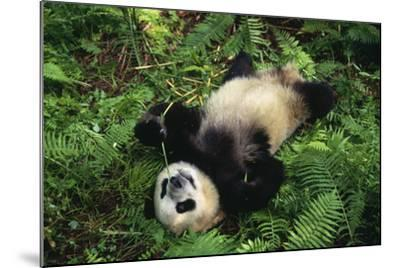Giant Panda Cub Rolling on Forest Floor-DLILLC-Mounted Photographic Print