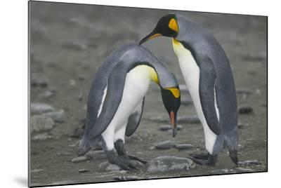 King Penguins Engaging in Mating Ritual-DLILLC-Mounted Photographic Print