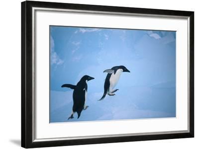 Adelie Penguins Climbing Ice Floe-DLILLC-Framed Photographic Print
