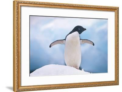 Adelie Penguin with Wings Outstretched-DLILLC-Framed Photographic Print