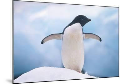 Adelie Penguin with Wings Outstretched-DLILLC-Mounted Photographic Print