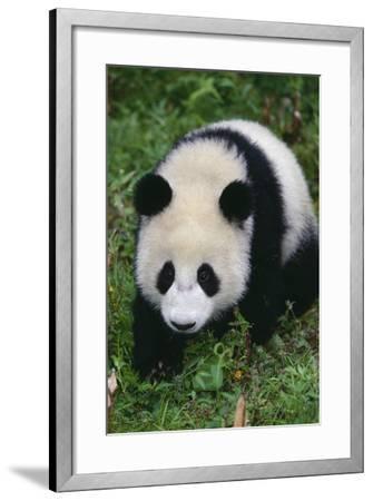 Giant Panda Walking on Forest Floor-DLILLC-Framed Photographic Print