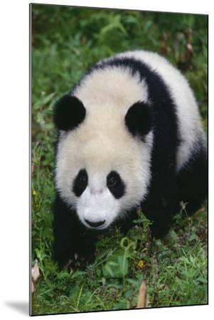 Giant Panda Walking on Forest Floor-DLILLC-Mounted Photographic Print