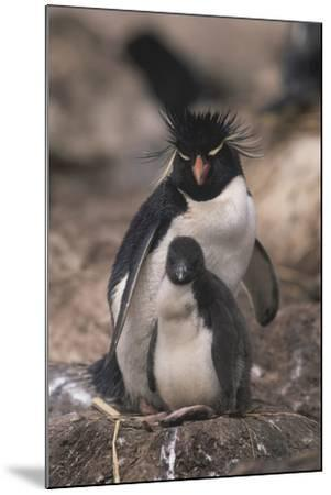 Rockhopper Penguin with Chick-DLILLC-Mounted Photographic Print