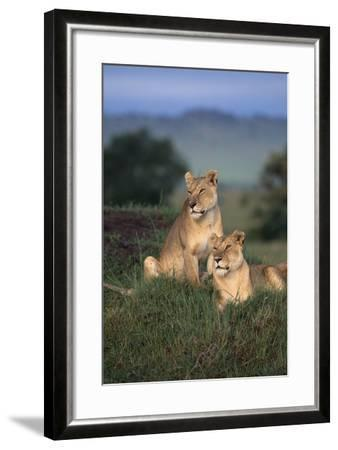Lionesses in Grass-DLILLC-Framed Photographic Print