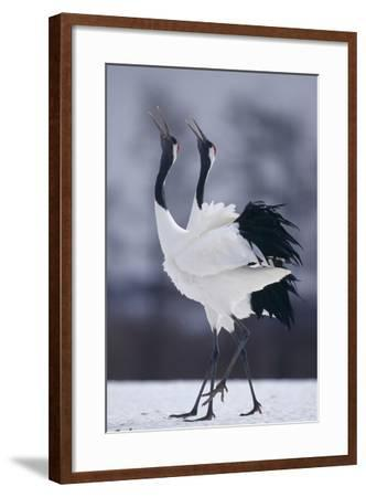 Red-Crowned Cranes in Courtship Display-DLILLC-Framed Photographic Print