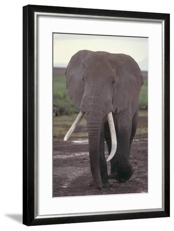 Elephant with Long Tusks-DLILLC-Framed Photographic Print