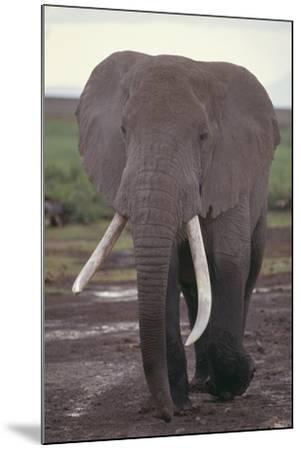 Elephant with Long Tusks-DLILLC-Mounted Photographic Print