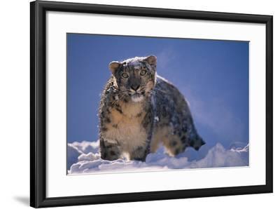 Snow Leopard in Snow-DLILLC-Framed Photographic Print