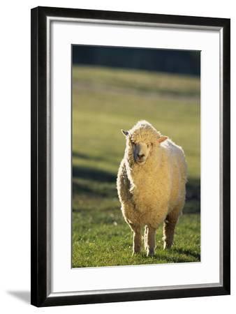 Sheep in Grass-DLILLC-Framed Photographic Print