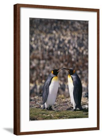 King Penguins Touching Beaks-DLILLC-Framed Photographic Print
