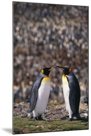 King Penguins Touching Beaks-DLILLC-Mounted Photographic Print