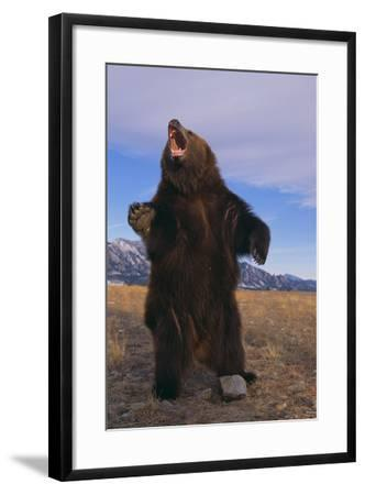 Roaring Grizzly Bear-DLILLC-Framed Photographic Print