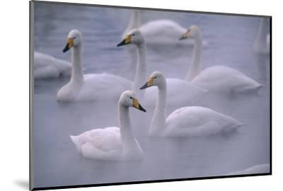 Whooper Swans Floating on Water-DLILLC-Mounted Photographic Print