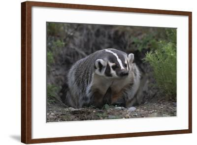 American Badger in Burrow-DLILLC-Framed Photographic Print