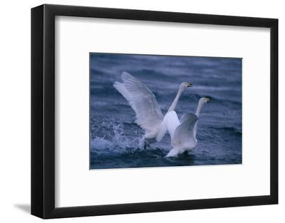 Whooper Swans Landing in Water-DLILLC-Framed Photographic Print