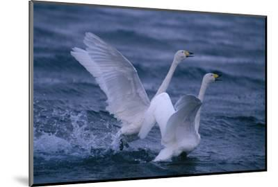 Whooper Swans Landing in Water-DLILLC-Mounted Photographic Print