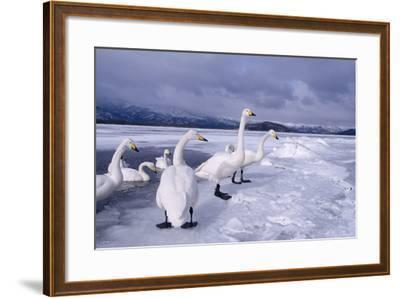 Whooper Swans on Frozen Lake-DLILLC-Framed Photographic Print