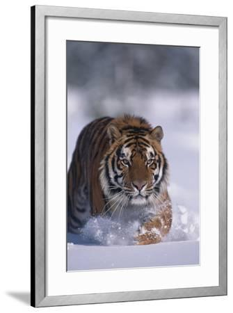 Bengal Tiger Walking in Snow-DLILLC-Framed Photographic Print