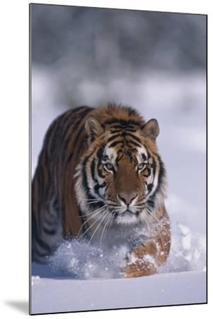 Bengal Tiger Walking in Snow-DLILLC-Mounted Photographic Print
