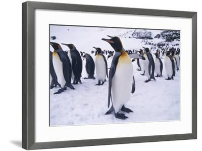King Penguins Standing in Snow-DLILLC-Framed Photographic Print
