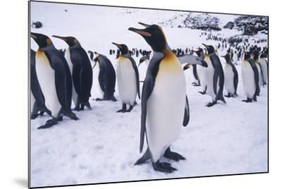 King Penguins Standing in Snow-DLILLC-Mounted Photographic Print