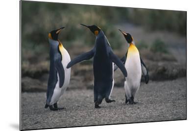 King Penguins Walking Together-DLILLC-Mounted Photographic Print