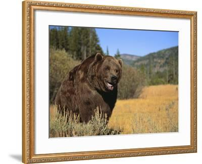 Grizzly Bear Roaming in Mountain Meadow-DLILLC-Framed Photographic Print