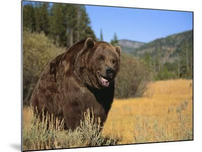 Grizzly Bear Roaming in Mountain Meadow-DLILLC-Mounted Photographic Print