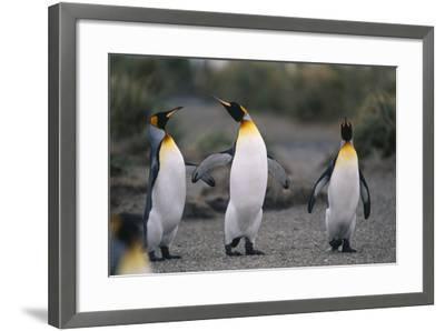 King Penguins Walking Together-DLILLC-Framed Photographic Print