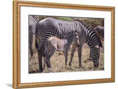 Baby Zebra and Mother-DLILLC-Framed Photographic Print