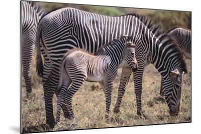 Baby Zebra and Mother-DLILLC-Mounted Photographic Print