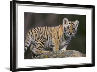 Bengal Tiger Cub on Rocks-DLILLC-Framed Photographic Print