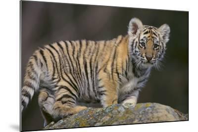 Bengal Tiger Cub on Rocks-DLILLC-Mounted Photographic Print