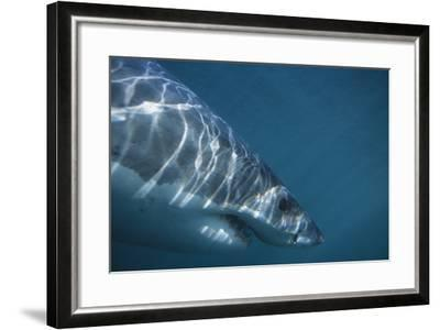 Great White Shark Swimming-DLILLC-Framed Photographic Print