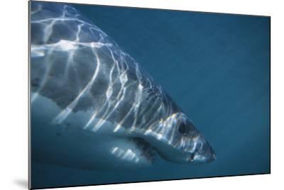 Great White Shark Swimming-DLILLC-Mounted Photographic Print