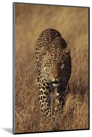 Leopard-DLILLC-Mounted Photographic Print