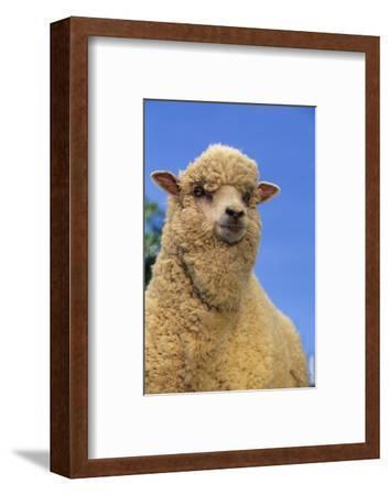 Sheep-DLILLC-Framed Photographic Print