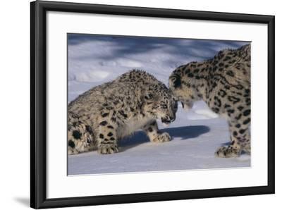 Snow Leopards Facing Off-DLILLC-Framed Photographic Print