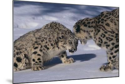 Snow Leopards Facing Off-DLILLC-Mounted Photographic Print