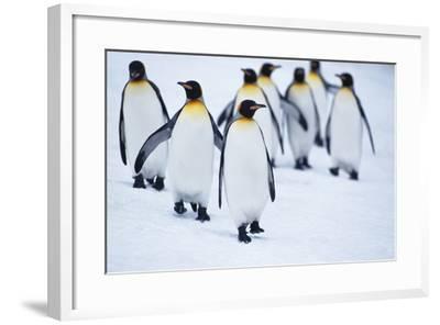 King Penguins Walking in Snow-DLILLC-Framed Photographic Print