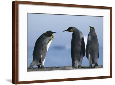 King Penguins on Rocky Beach-DLILLC-Framed Photographic Print