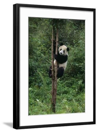 Panda Climbing Tree-DLILLC-Framed Photographic Print