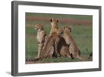 Cheetahs in Grass-DLILLC-Framed Photographic Print