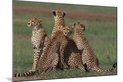Cheetahs in Grass-DLILLC-Mounted Photographic Print