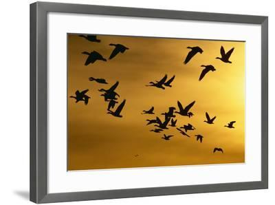 Snow Geese in Flight at Sunset-DLILLC-Framed Photographic Print