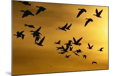 Snow Geese in Flight at Sunset-DLILLC-Mounted Photographic Print